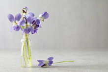 Beautiful Wood Violets On Light Grey Background, Space For Text. Spring Flowers