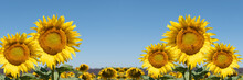 Sunflowers In The Field. Panoramic Summer Landscape With Focus On Five Sunflowers In The Foreground.