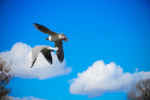 Seagulls Are Flying Against The Background Of A Bright Blue Sky With Clouds