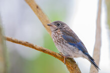 A Juvenile Eastern Bluebird (sialis Sialis) Perched On A Bare Branch.