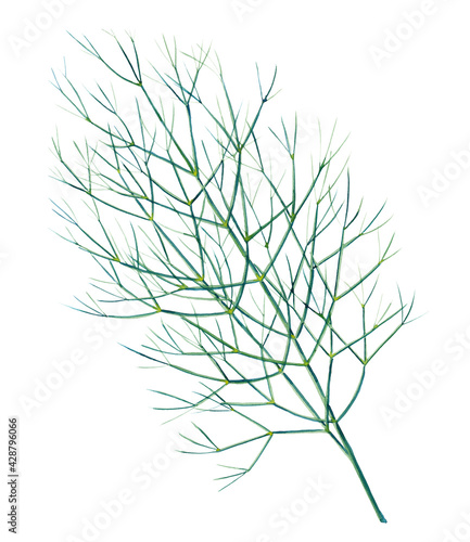 Foto Green branch of dill isolated on white background
