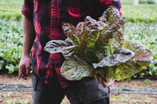 Farmer In A Field, Holding Freshly Picked Purple Leaf Lettuce.