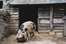 Gloucester Old Spot Sow Outside A Sty, Feeding From Bowl.
