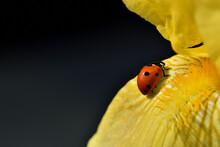 Red Ladybug Walking On Yellow Iris Flower On Black Background