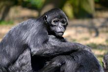 Closeup Black-headed Spider Monkey (Ateles Fusciceps) Seated