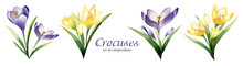 Crocus Spring Flowers Watercolor Set Of Compositions On White Background. Saffron Flower.