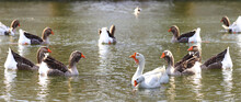 Panorama. The Confrontation Of Geese Floating On The Pond...