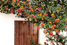 Colorful Lantana Flowers At The Door