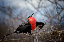 Red Breasted Frigate Bird In The Galapagos Islands With Mating Plumage