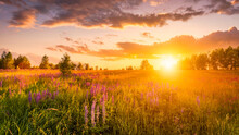 Sunset Or Sunrise On A Hill With Purple Wild Lupines And Wildflowers, Young Birches And Cloudy Sky.