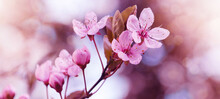 Spring Flower Background Banner Panorama - Pink Beautiful Blooming Cherry Blossoms ( Prunus ) With Soft Bright Bokeh