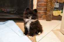 Pomeranian Puppy Sits Next To Pee Pee Pad And Looks Adorable For Portrait