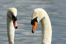 The Heads Of Two Courting Mute Swan, Cygnus Olor, Swimming On A Lake In Springtime.
