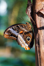 Owl Butterfly ,caligo Eurilochus. Beautiful Brown Butterfly