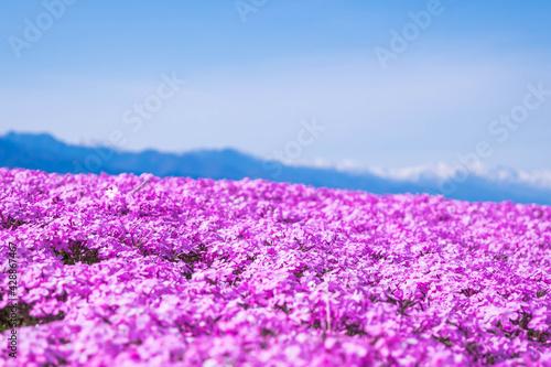 Fototapeta ピンクの芝桜と雪山 obraz na płótnie
