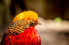 Male Golden Pheasant. Chrysolophus Pictus. Portrait Of Chinese Pheasant. Rainbow Pheasant.