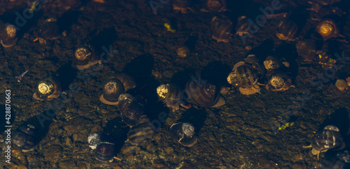 Fototapeta Molluscs with shells underwater in the coastal area