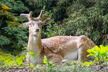 A Fallow Deer Resting In The Flowers