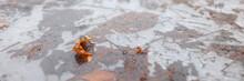 Yellow Fallen Leaves Lying In Frozen Slippery Puddle In Early Winter