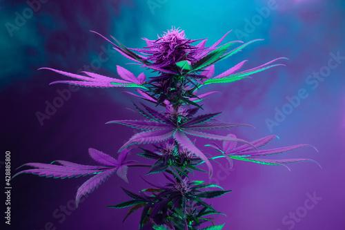 Fototapeta Purple hemp plant. Artistic background of marijuana. Medicinal hemp plant in neon colorful mixed light. A new look at the agricultural cannabis strain obraz