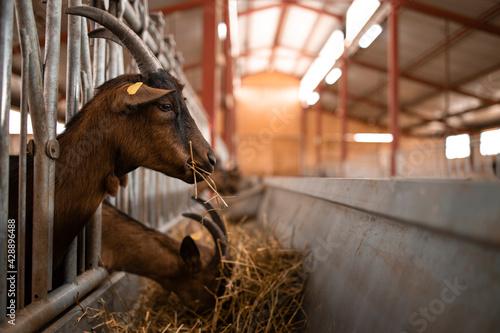 Carta da parati Close up view of goat domestic animal eating food at farmhouse.
