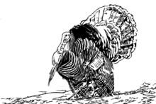 Wild Turkey Male Tom Strutting Display Feathers Vector Illustration