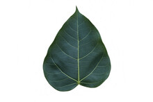 Ficus Religiosa Green Leaf Isolated On White Background Closeup.