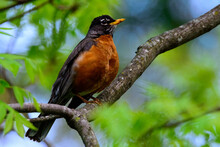 American Robin Perched In Tree-0620