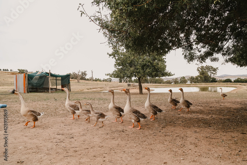 A gaggle of geese walking near dam on country property Fototapeta