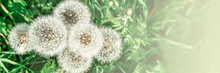 Big Field With White Fluffy Dandelions And Fresh Green Grass. Summer Spring Natural Landscape. Banner.