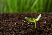 Green Seedling Growing In Soil Outdoors
