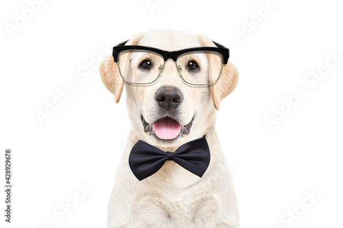 Fotografiet Portrait of a cute Labrador puppy wearing glasses and a bow tie on a white backg