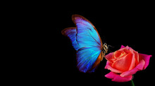 Bright Blue Tropical Morpho Butterfly On Red Rose In Water Drops Isolated On Black.