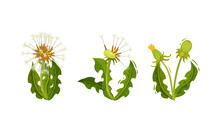 Dandelion Flowering Plant With Round Tufted Blowball Vector Set