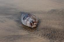 Puffer Fish Or Blowfish On Kachare Beach, Ratnagiri, Maharashtra, India.