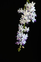 Blooming Lush Small White Orchid  Flower On Black Background. Phalaenopsis Sapphire. Home Interior Flowers