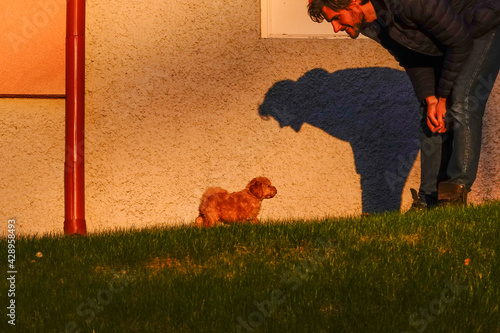 Fotografiet A young man and pet owner with his  bichon poo male puppy on the grass