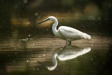 Beautiful Little Egret Fishing In The Lake