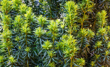 Yew Taxus Baccata Fastigiata Aurea (English Yew, European Yew) New Bright Green With Yellow Stripes Foliage In Spring Garden As Natural Background. Selective Focus. Nature Concept For Design
