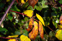 Autumn Bramble Leaves Isolated On A Natural Green Background