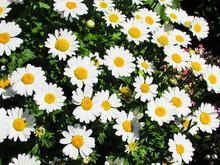 フランスギク 白い花属 Leucanthemum Vulgare. Oxeye Daisy.