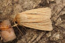 Closeup On The Smoky Wainscot Owlet Moth, Mythimna Impura On A Piece Of Wood