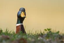 Mallard Head (Anas Platyrhynchos) On Pond Background
