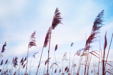 Silhouette Of A Dry Reed Against The Sky, Soft Focus