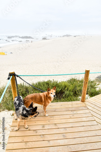 dog on beach, photo as a background , in north portugal, europe , In Afife, Viana do Castelo, north portugal Wallpaper Mural
