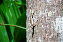 Closeup Shot Of A Brown Striped Skink Lizard With Shiny Skin On A Tree Trunk Holding Its Head High