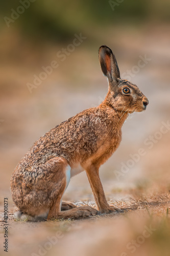 brown field hare in nature - fototapety na wymiar
