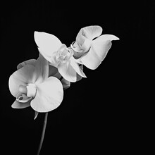 White Orchid Flowers (Phalaenopsis) Side View On Black Background Isolated Closeup. Selective Focus. Black And White