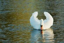Swan Swimming On Lake Looking At Refelction