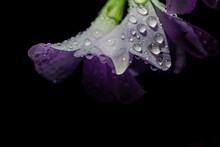 Oxalis Triangularis With Rain Drops